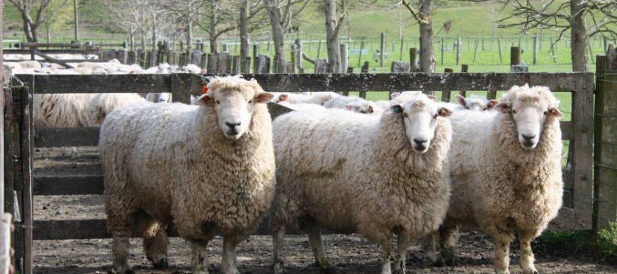 3-sheep